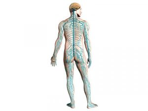 sistema-nervioso-concepto