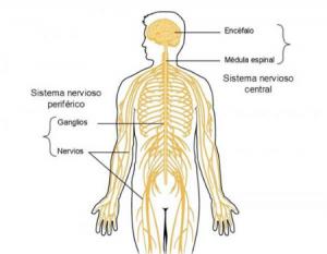 sistema-nervioso-partes