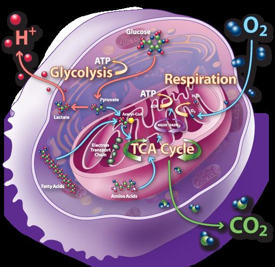 ¿Cómo funciona el ciclo del ácido cítrico?