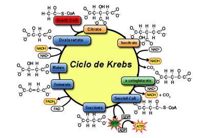 ¿En qué consiste el ciclo de Krebs?