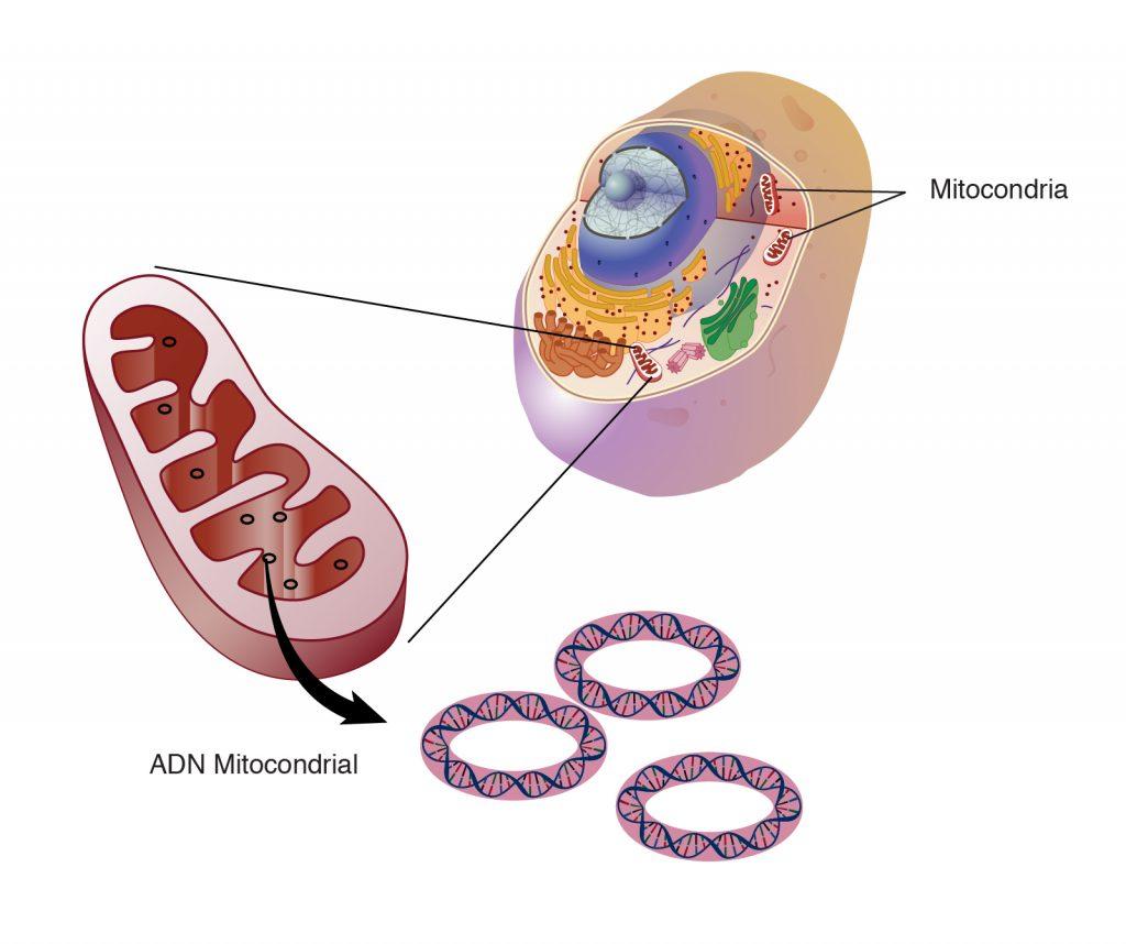 Definición de mitocondria