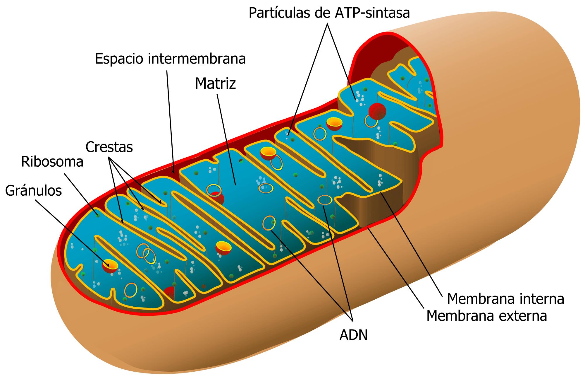 Diagrama de la mitocondria