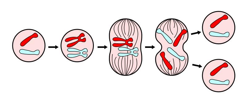 Funciones de la división celular