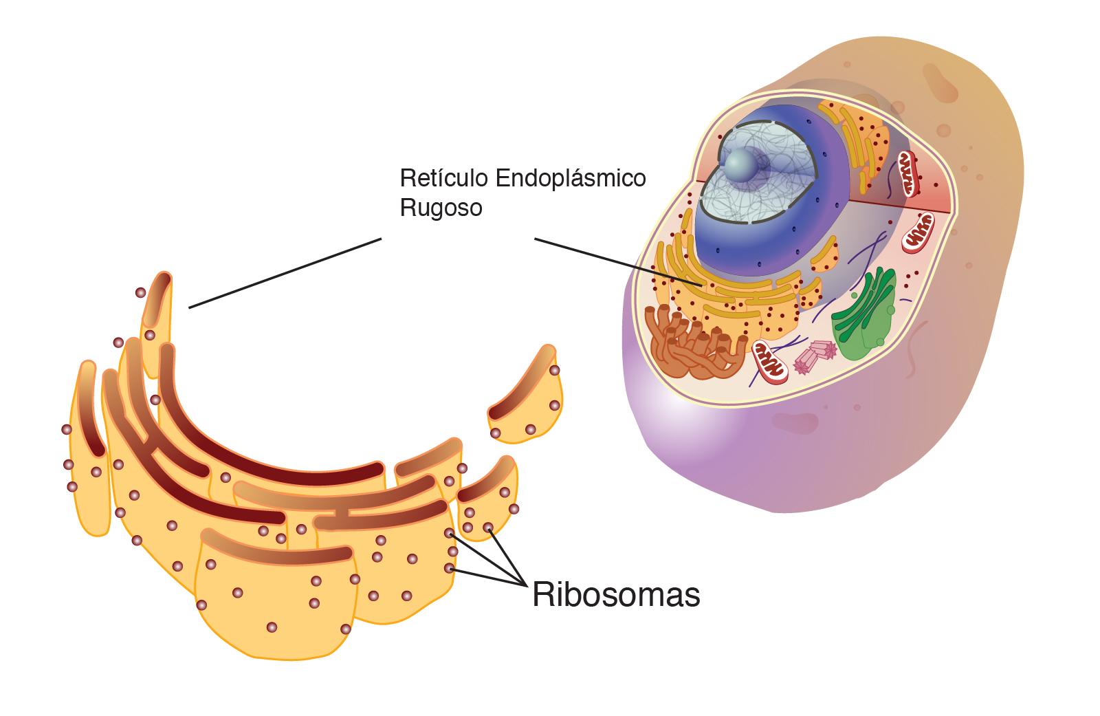 Definición de ribosomas