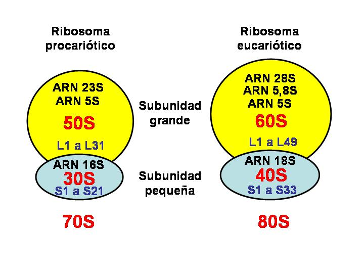 Tipos de ribosomas