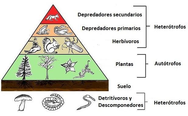 Diagrama de la cadena trófica o cadena alimenticia